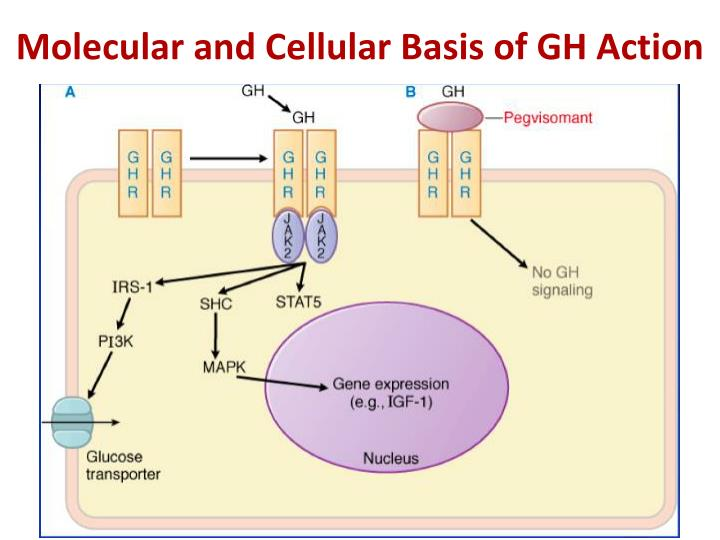 Molecular and Cellular Basis of GH Action