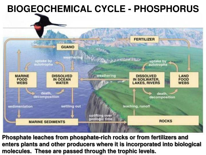 BIOGEOCHEMICAL CYCLE - PHOSPHORUS