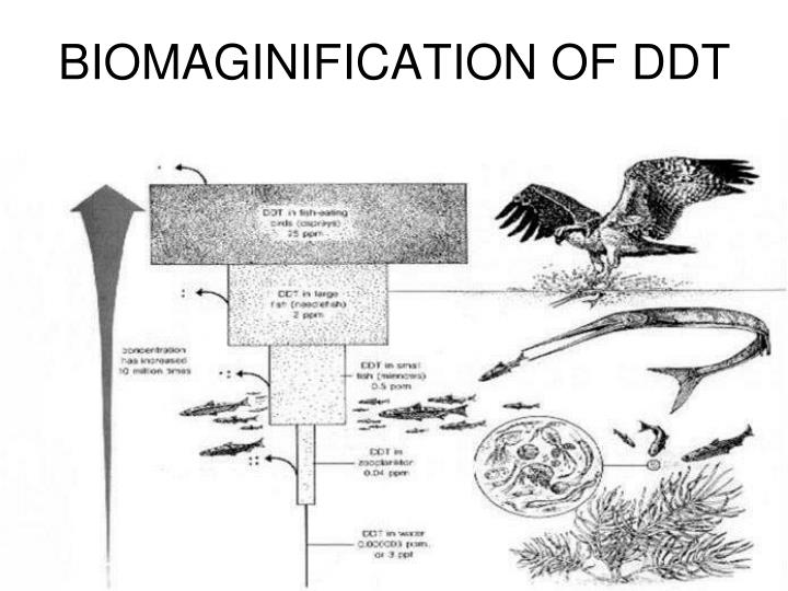 BIOMAGINIFICATION OF DDT