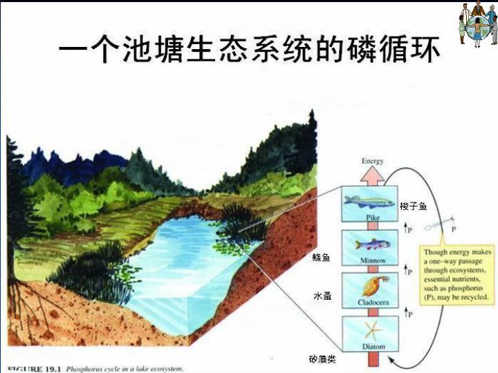 一个池塘生态系统的磷循环