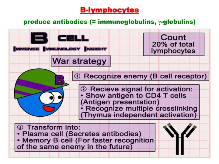 B-lymphocytes