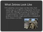 what zebras look like