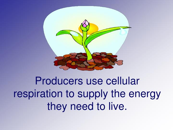 Producers use cellular respiration to supply the energy they need to live.