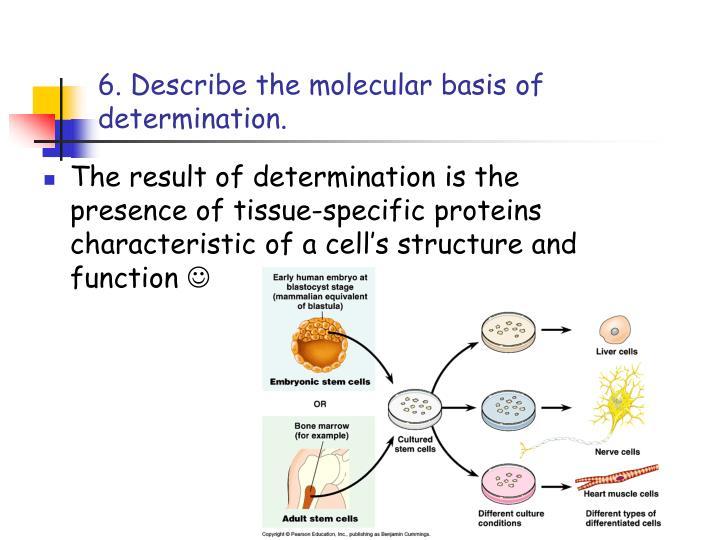 6. Describe the molecular basis of determination.