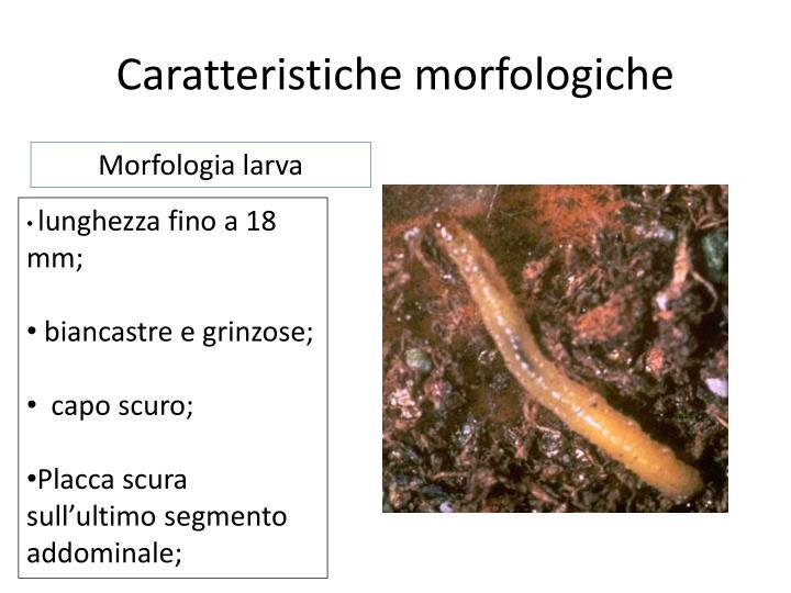 Caratteristiche morfologiche