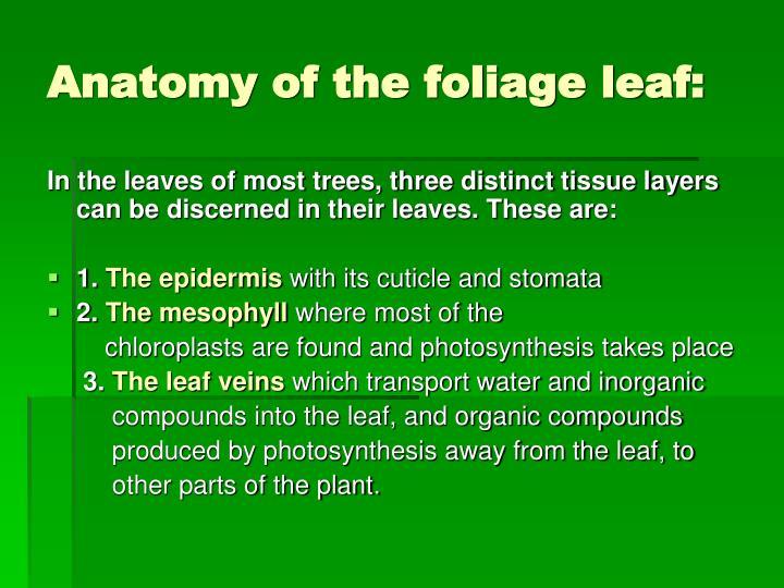 Anatomy of the foliage leaf: