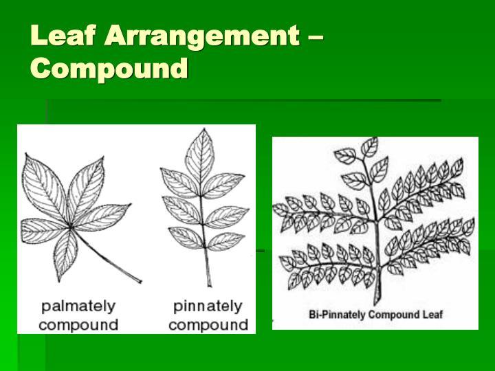 Leaf Arrangement – Compound
