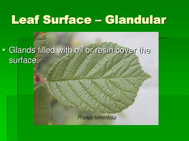 Glands filled with oil or resin cover the surface.