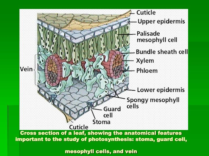 Cross section of a leaf, showing the anatomical features important to the study of photosynthesis: stoma, guard cell, mesophyll cells, and vein