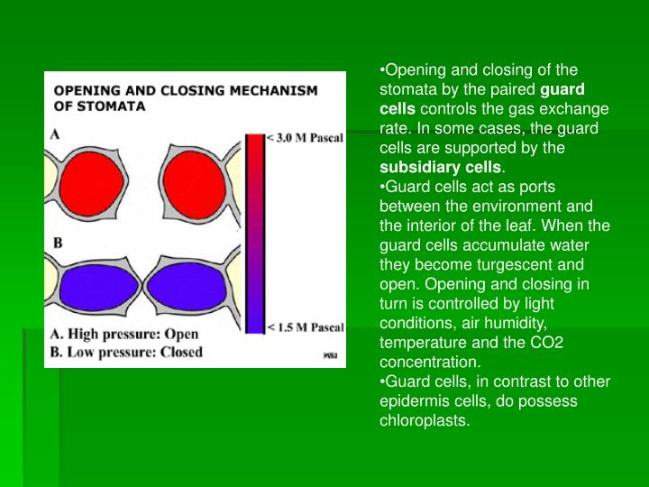 Opening and closing of the stomata by the paired