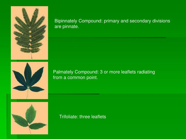 Bipinnately Compound: primary and secondary divisions are pinnate.