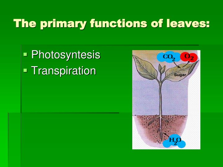 The primary functions of leaves: