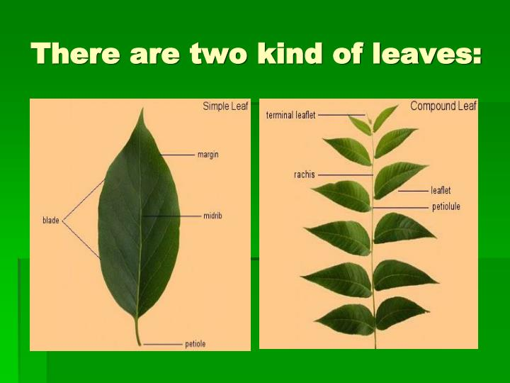 There are two kind of leaves: