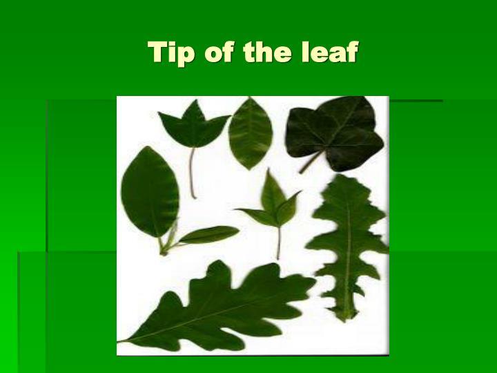 Tip of the leaf