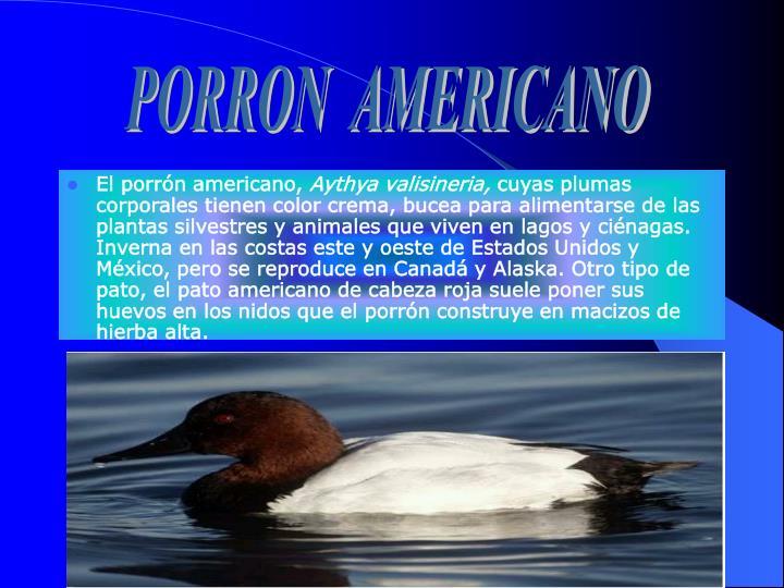 PORRON  AMERICANO