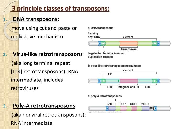 3 principle classes of transposons: