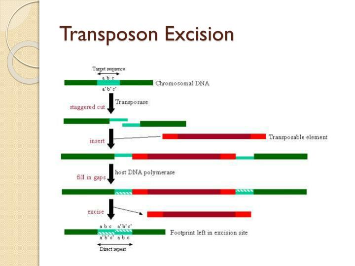 Transposon Excision
