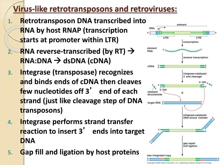 Virus-like retrotransposons and retroviruses: