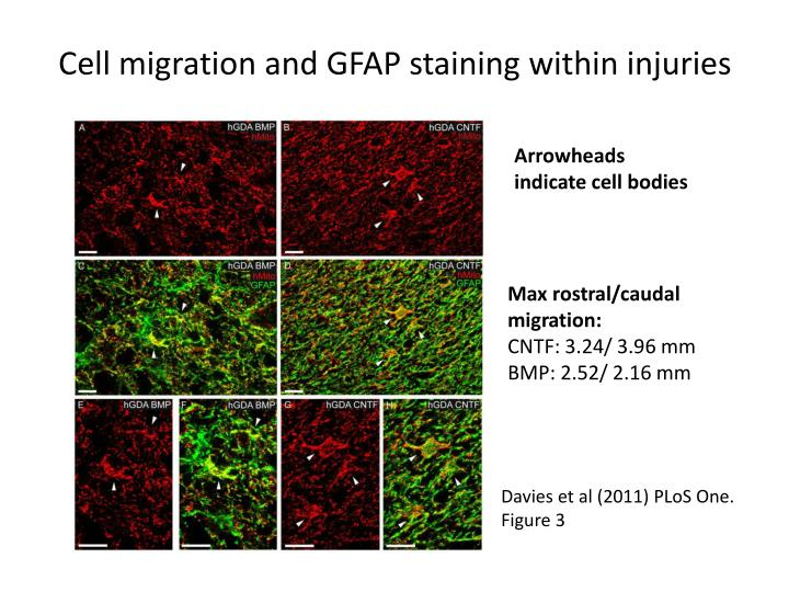 Cell migration and GFAP staining within injuries
