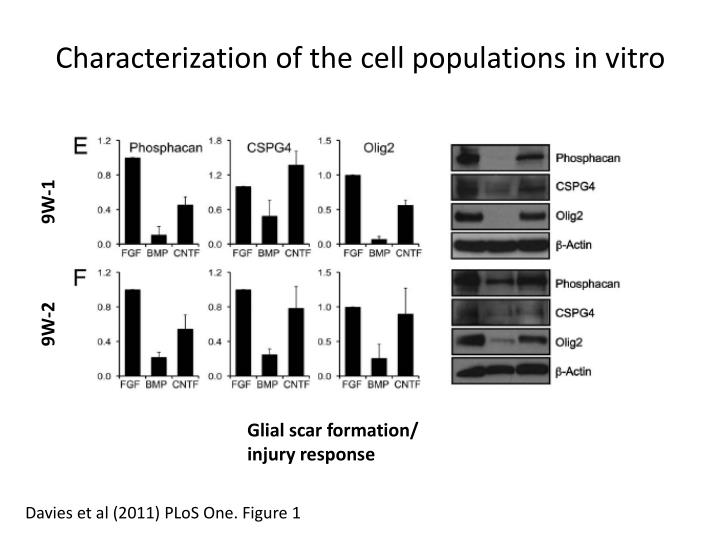 Characterization of the cell populations in vitro