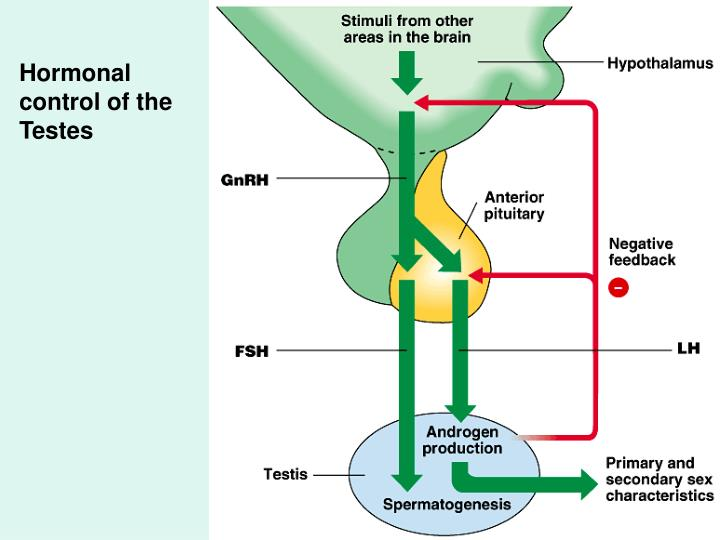 Hormonal control of the Testes