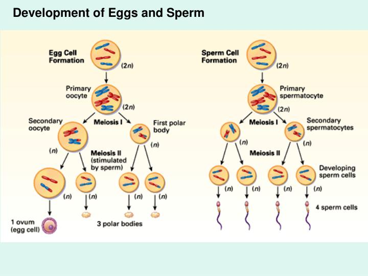 Development of Eggs and Sperm