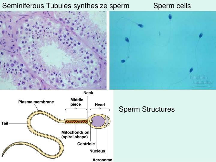 Seminiferous Tubules synthesize spermSperm cells