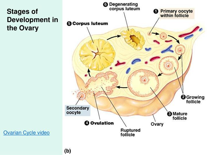 Stages of Development in the Ovary
