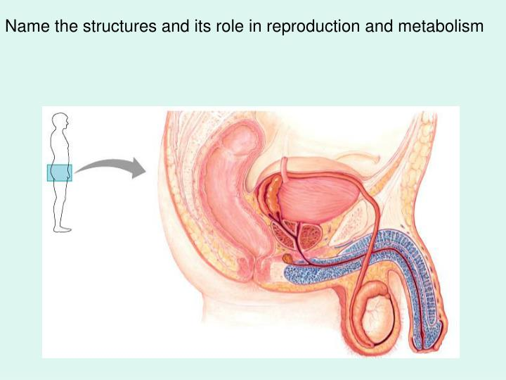 Name the structures and its role in reproduction and metabolism
