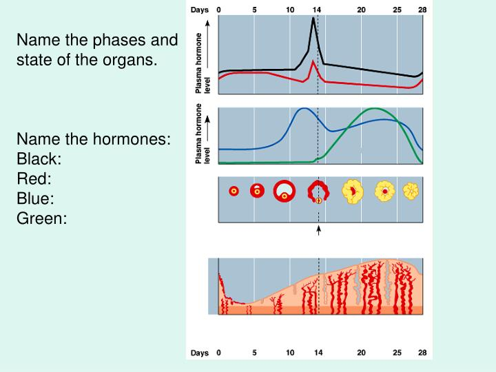 Name the phases and state of the organs.