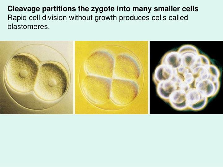 Cleavage partitions the zygote into many smaller cells