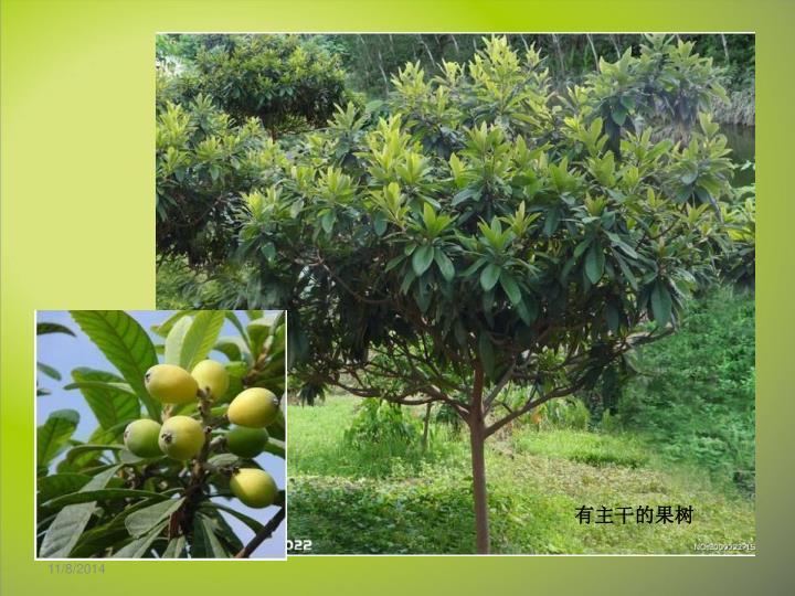 有主干的果树