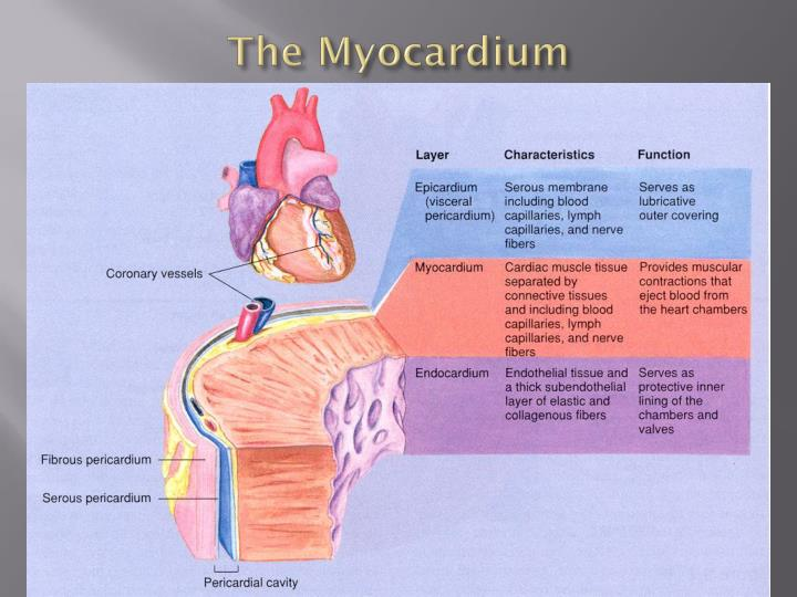 The Myocardium