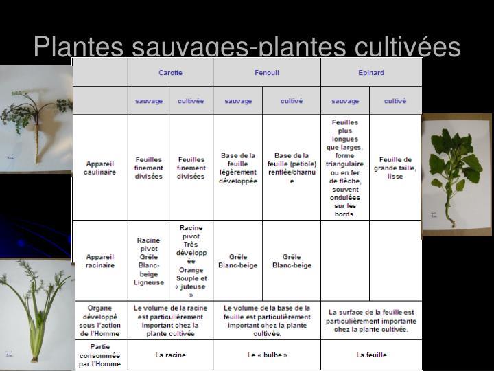 Plantes sauvages-plantes cultivées