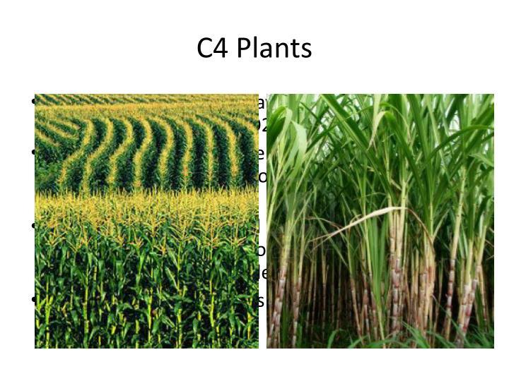 C4 Plants