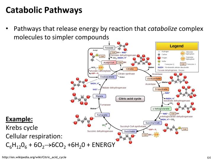 Catabolic Pathways
