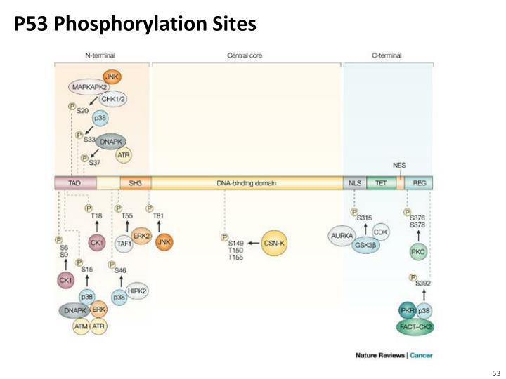 P53 Phosphorylation