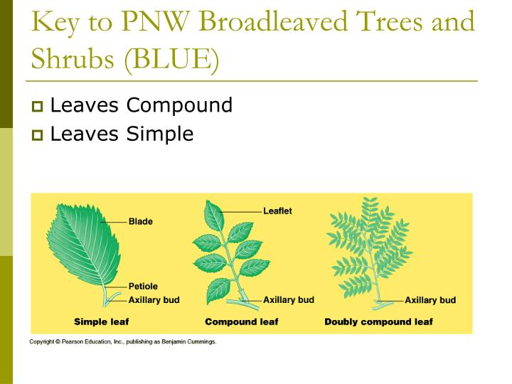 Key to PNW Broadleaved Trees and Shrubs (BLUE)