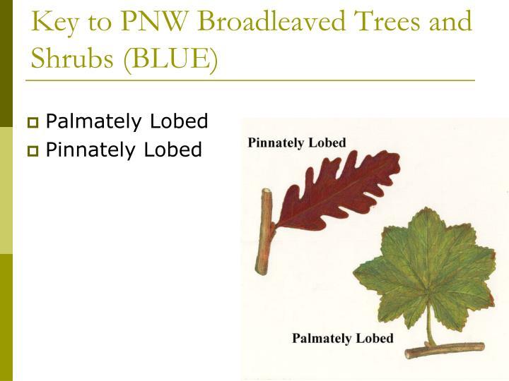 Key to PNW Broadleaved Trees and Shrubs (BLUE)