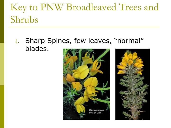 Key to PNW Broadleaved Trees and Shrubs