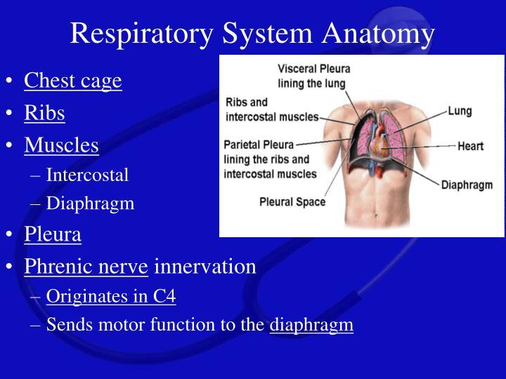 Respiratoryanatomy Power Point: Airway Management PowerPoint Presentation