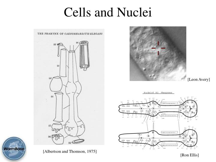 Cells and Nuclei