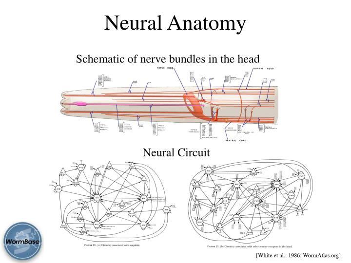 Neural Anatomy