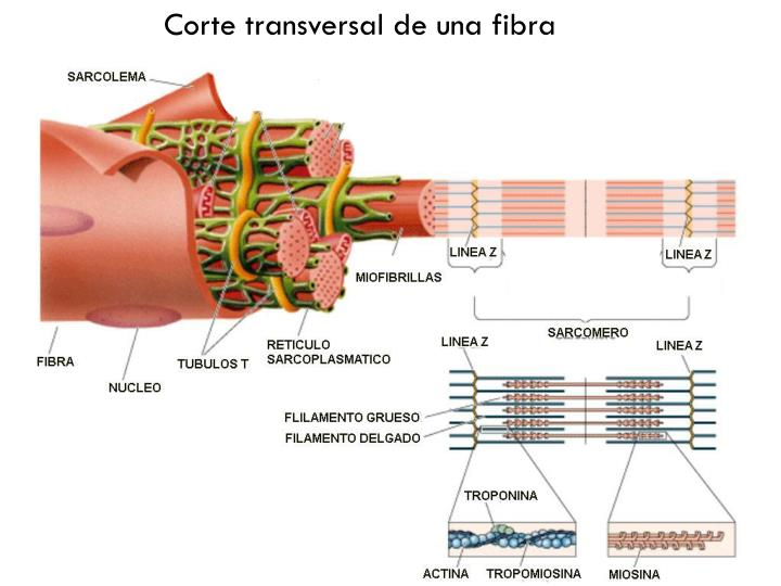 Corte transversal de una fibra