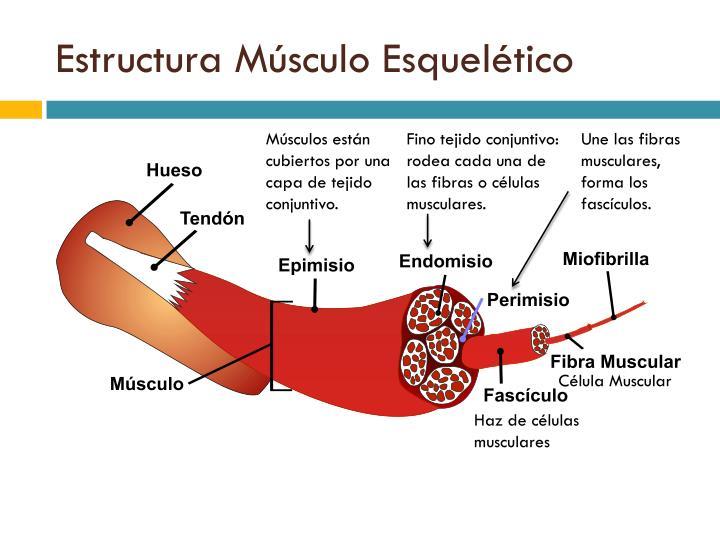 Estructura Músculo Esquelético