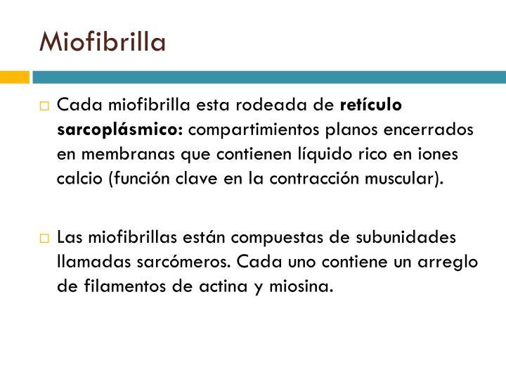 Miofibrilla