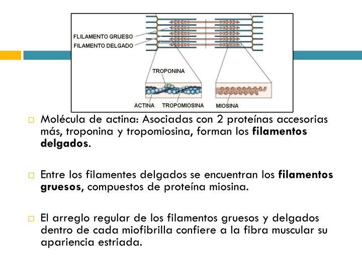 Molécula de actina: Asociadas con 2 proteínas accesorias más, troponina y tropomiosina, forman los