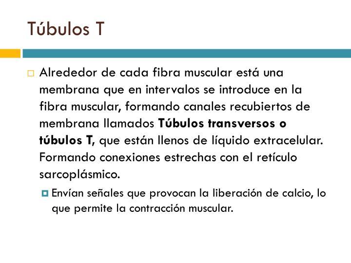 Túbulos T
