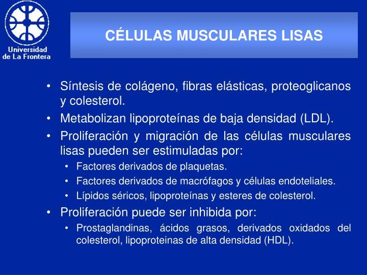 CÉLULAS MUSCULARES LISAS
