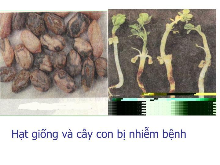 Hạt giống và cây con bị nhiễm bệnh